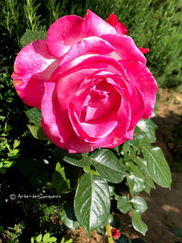A Red Rose - for YOU