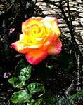A blushing yellow rose
