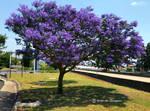 Lane side lilac