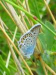 Papillon '1