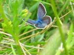 Papillon '2