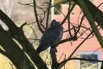 Pigeon '3