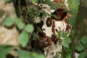 Vache '1_ Melancolie by Owps