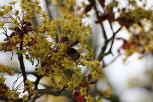 Bourdon '1 _ Bumblebee loving flower by Owps