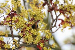 Bourdon '2 _ Bumblebee loving flower by Owps