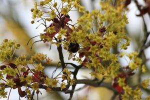 Bourdon '3 _ Bumblebee loving flower by Owps