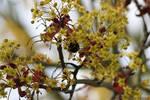Bourdon '3 _ Bumblebee loving flower