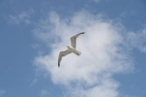 Oiseau '17 - Flying Seagull by Owps