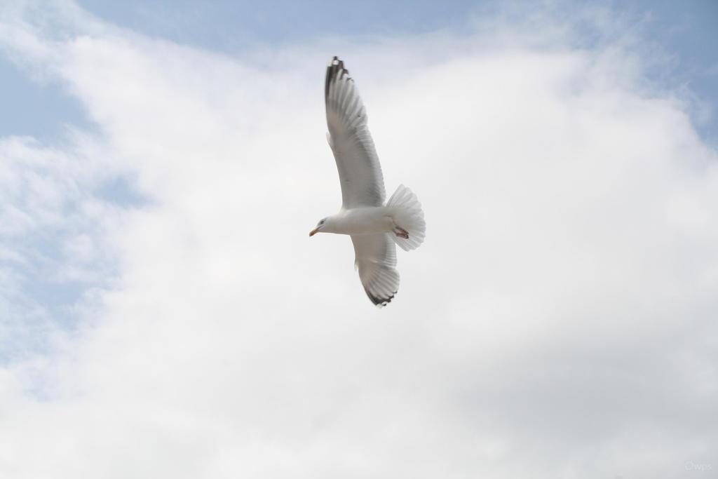 Oiseau '15 - Seagull by Owps