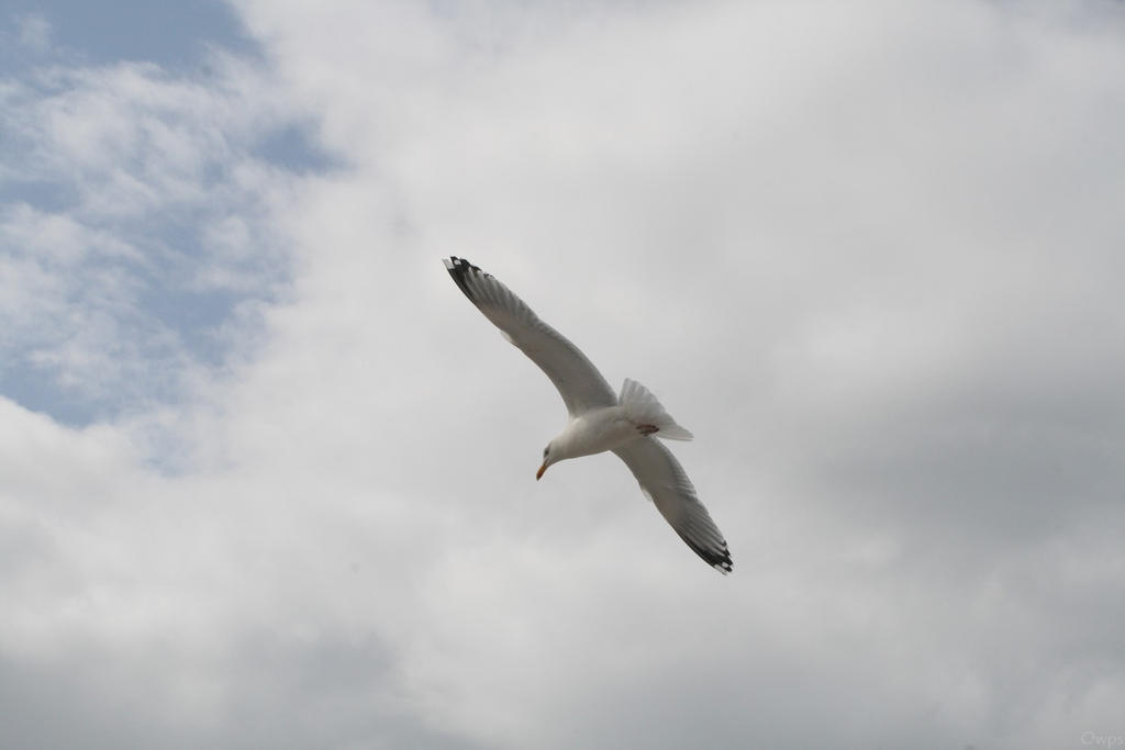 Oiseau '14 - Seagull by Owps