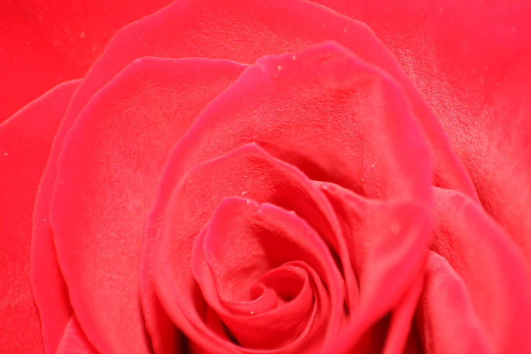 Nature - Fleurs '2 _ Rose is Pink by Owps