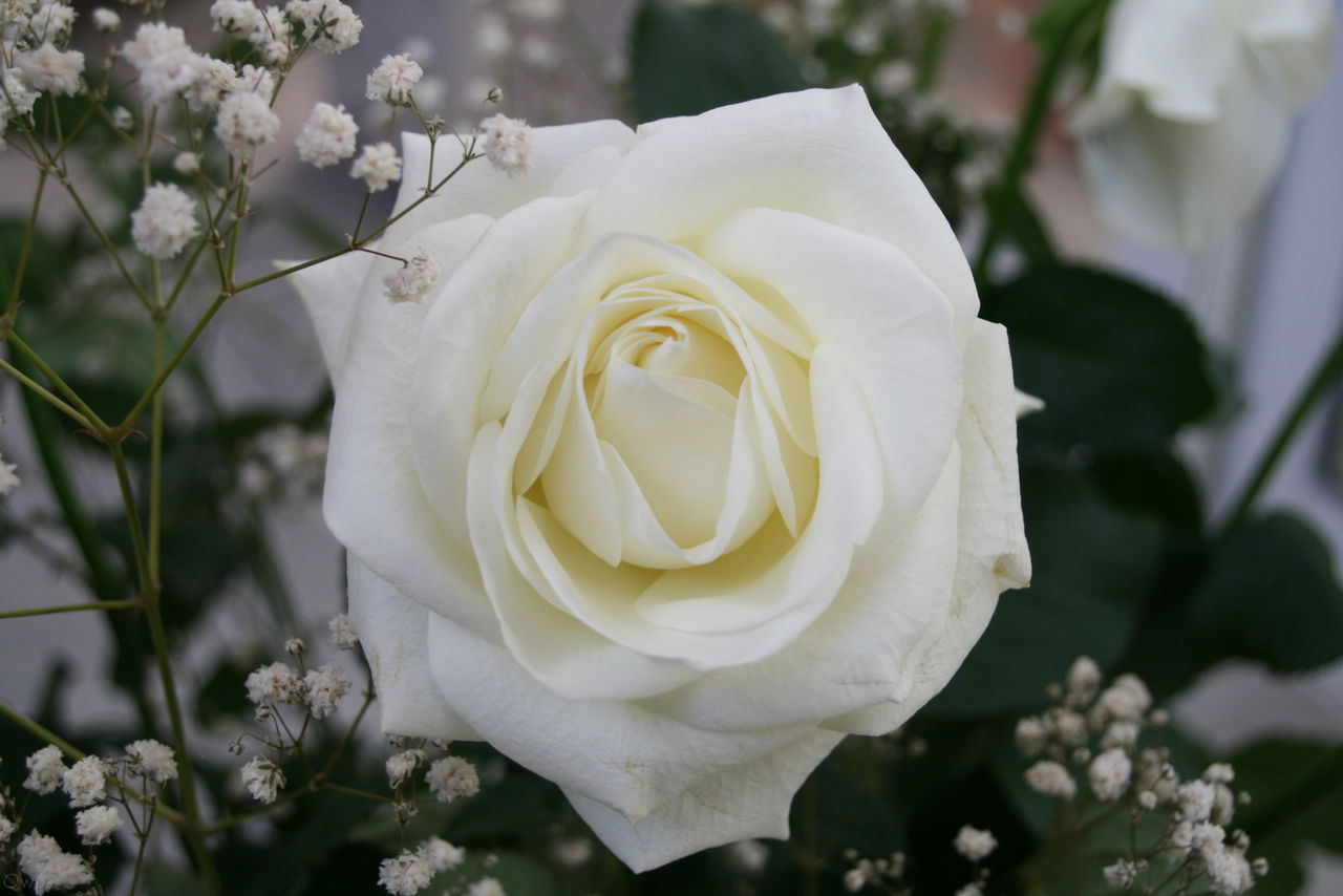 Fleur '3 _ White Rose by Owps