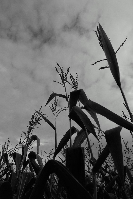 Corn Plant Silhouette Clip Art at Clker.com - vector clip ...   Cornfield Silhouette