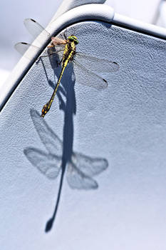 Carnivore:  Dragonfly