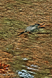 Swimming Loon:  Chasing Lunch by basseca