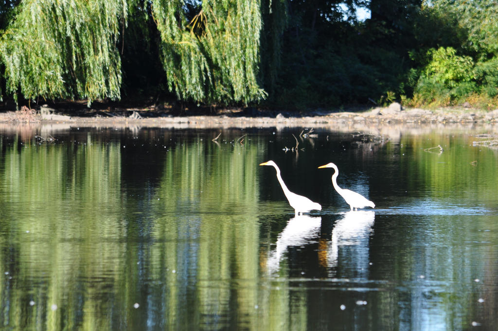 Pair of Egrets in Repetition - 2013 by insanity-pillz