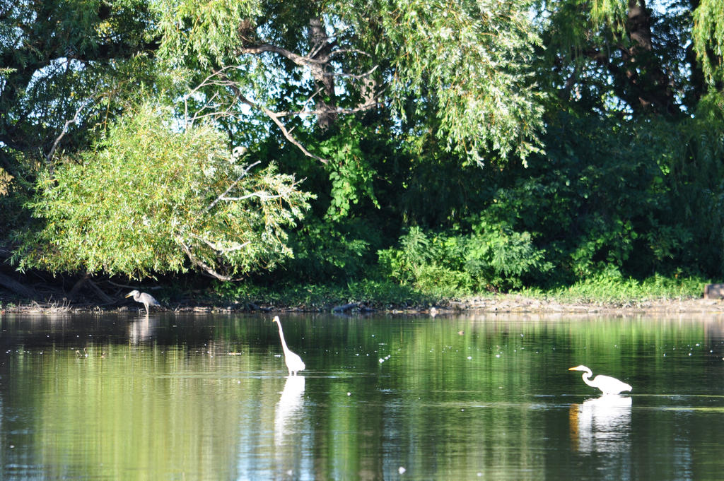 Two Egrets and a Great Blue - 2013 by insanity-pillz