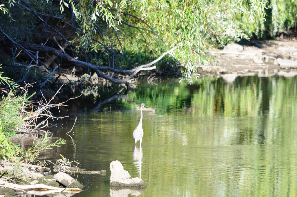Juvenile Great Blue Heron - 2013 by insanity-pillz