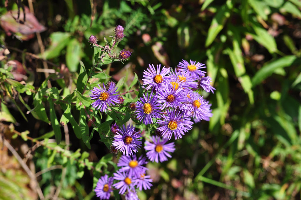Purple Aster - 2013 by insanity-pillz