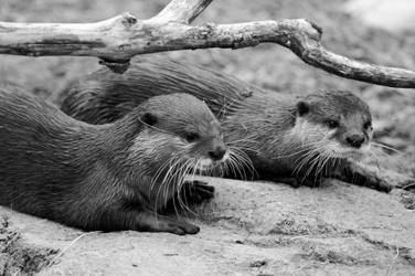 Asian Small-Clawed Otter 002 by The-Long-Shot