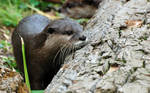 Asian Small-Clawed Otter 005
