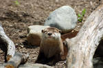 Asian Small-Clawed Otter 011