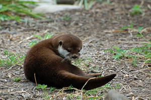 Asian Small-Clawed Otter 014 by The-Long-Shot