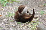 Asian Small-Clawed Otter 015