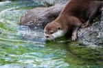 Asian Small-Clawed Otter 017