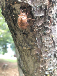 Empty cicada carapace
