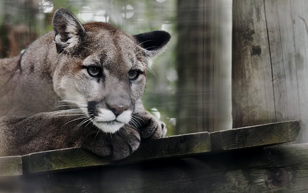 cougar by seafoodmwg