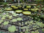 Kew water lily