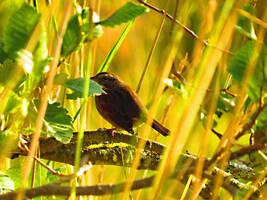 swamp Sparrow by wolfwings1