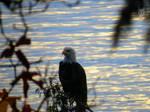 Eagle At The Sea