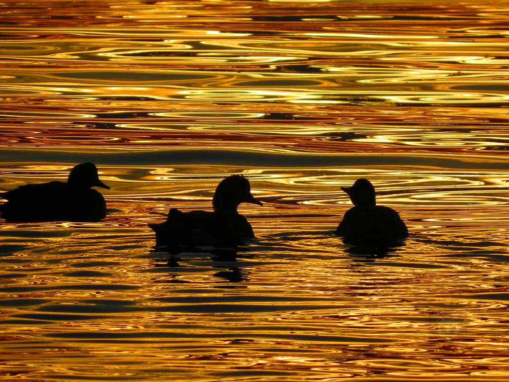 Autumn Ducks by wolfwings1