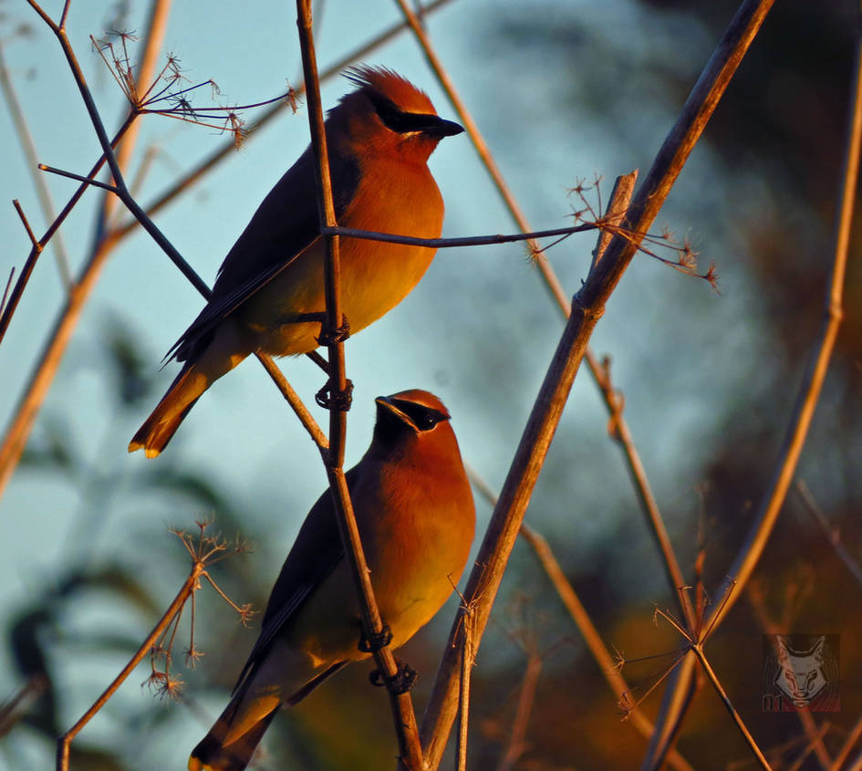 A Pair Of Waxwings