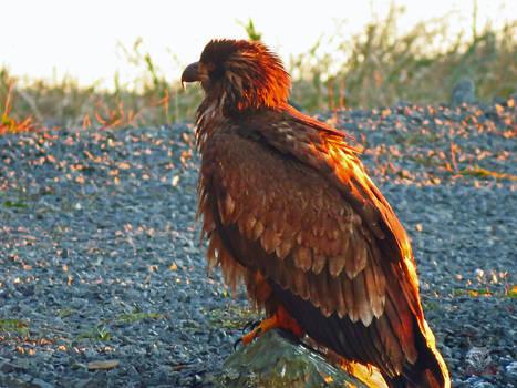 Young Bald Eagle On Rock