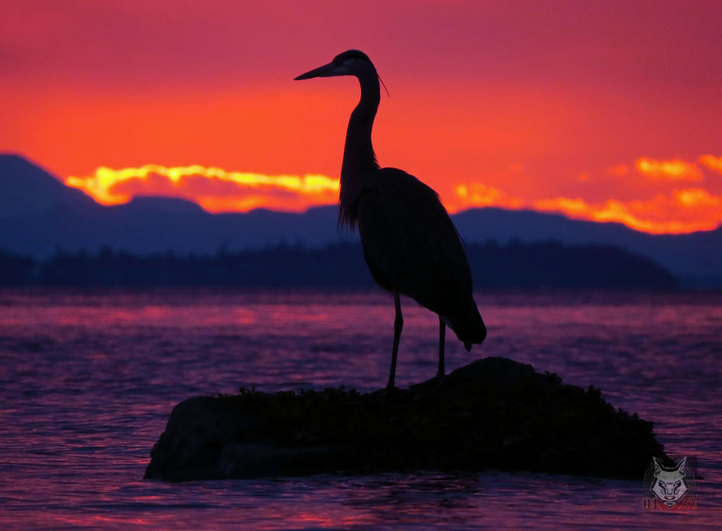 The Sunset Heron by wolfwings1