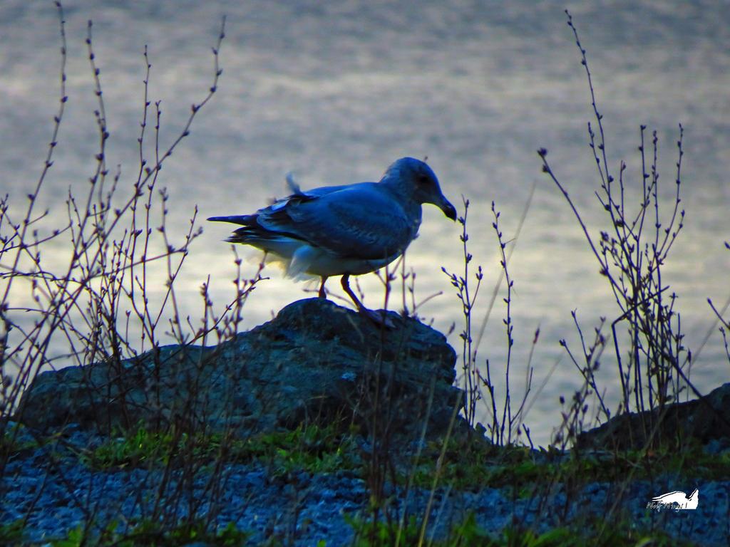 Seagull On The Bushy Rocks by wolfwings1