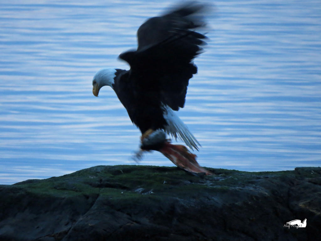 Bald Eagle Fish Hopping by wolfwings1