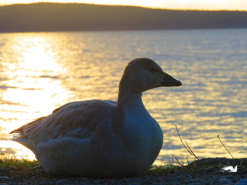 The Goose That Laid The Golden Ocean by wolfwings1