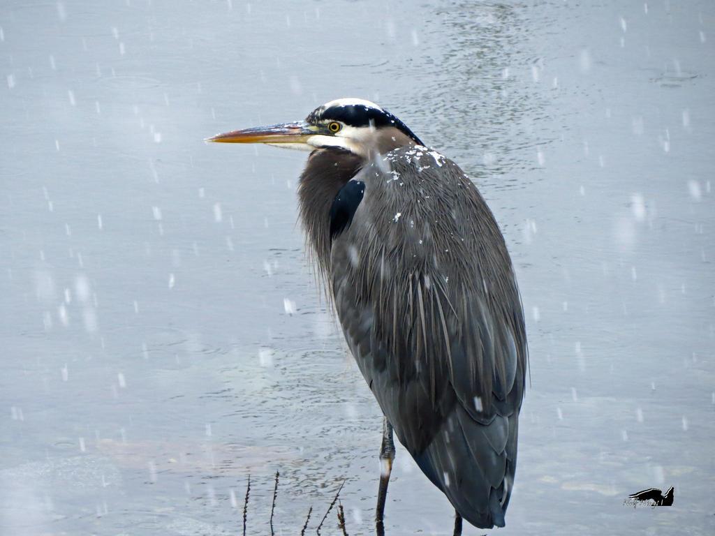 The Snowed Upon Heron by wolfwings1