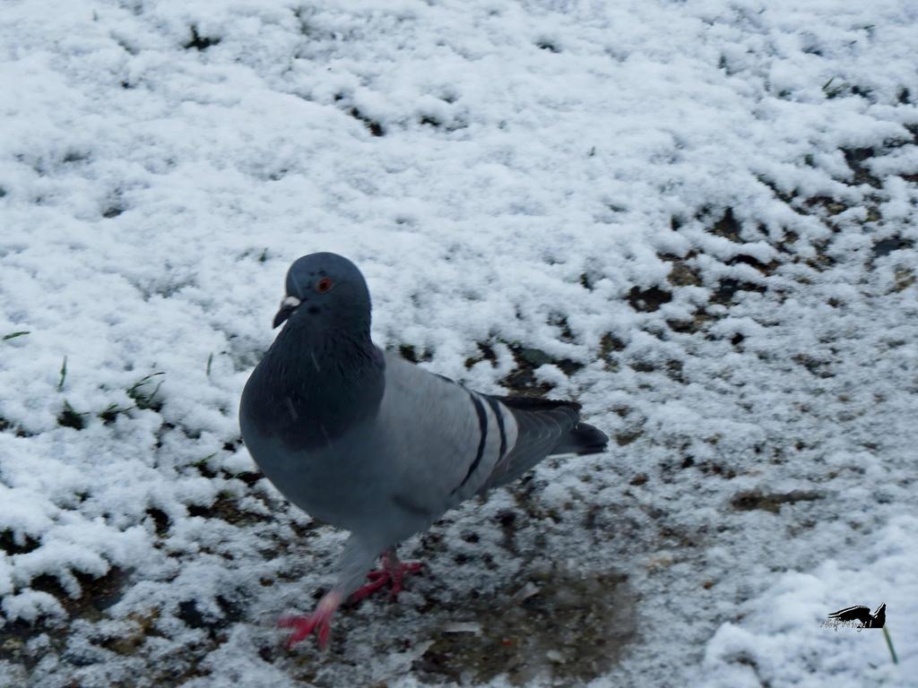 Snow Pigeon by wolfwings1