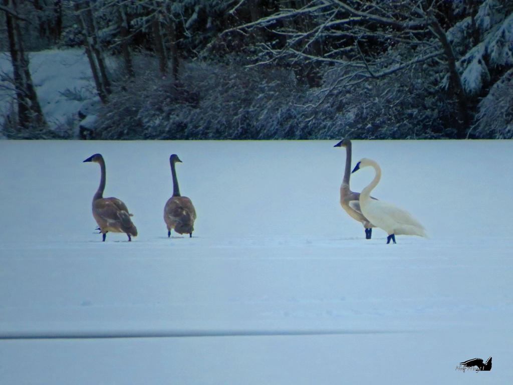 Trumpeters On Lake by wolfwings1