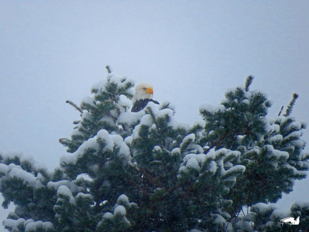 Eagle Relaxing In Snow by wolfwings1
