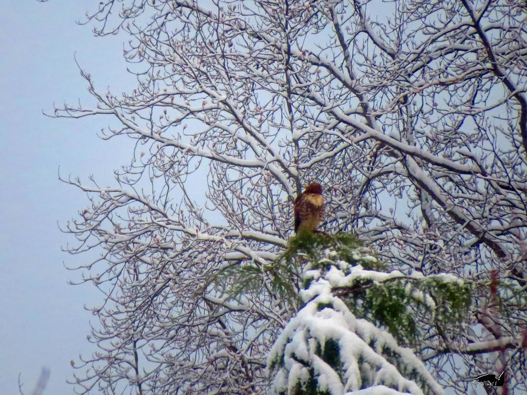 Hawk In White Snow by wolfwings1