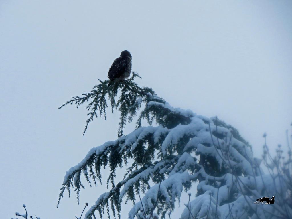 Hawk On Snow FIngers by wolfwings1