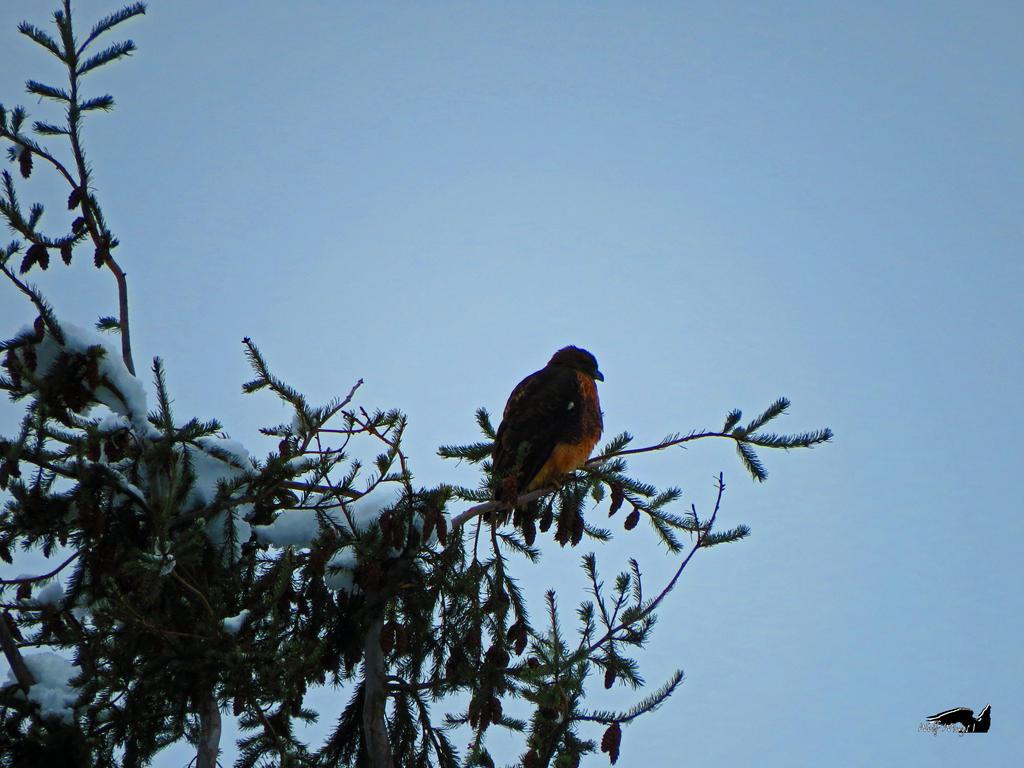 High Up Hawk by wolfwings1