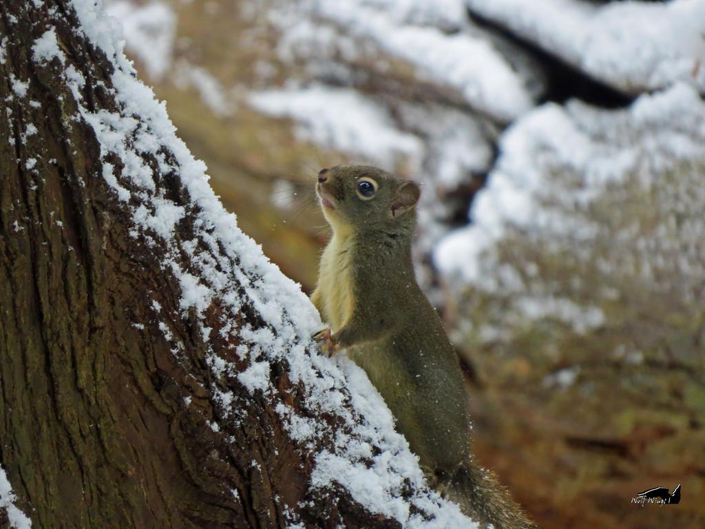 Snowy Squirrel by wolfwings1