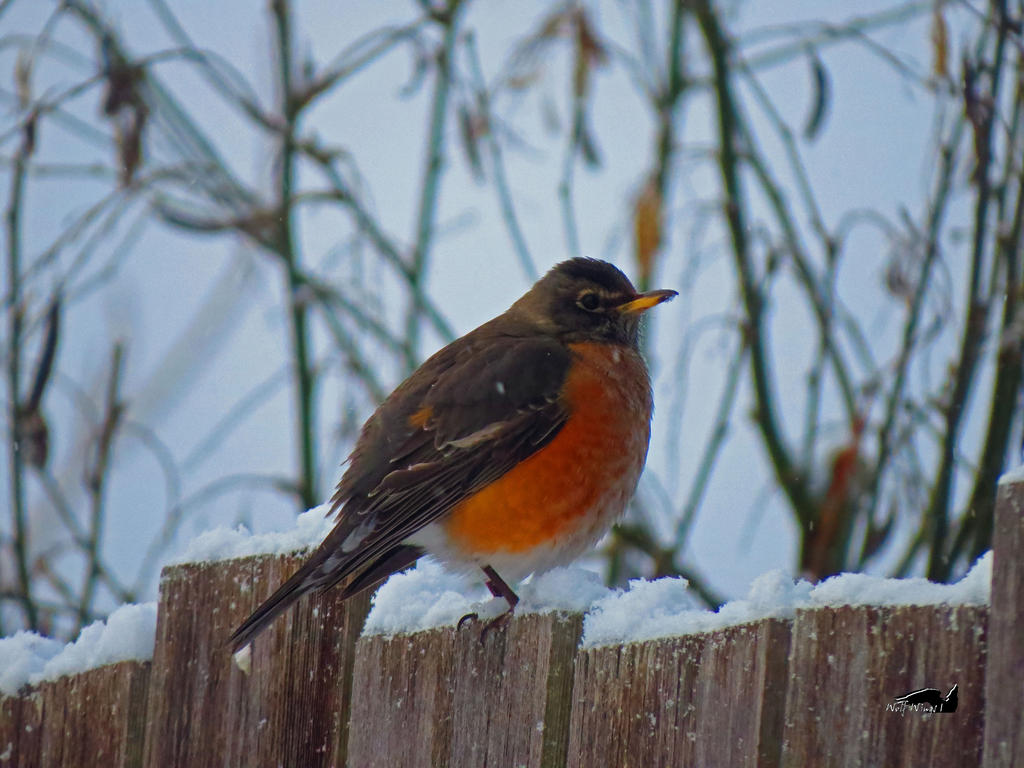 Robin On Snow Fence by wolfwings1